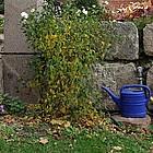 Zwei Gießkannen in einem Garten an der Gartenmauer